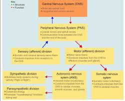 Central Nervous System Vs Peripheral Nervous System Venn Diagram How To Make A Venn Diagram In Powerpoint Sympathetic Vs