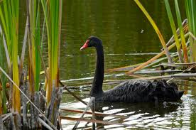 Image result for black swan on a swamp