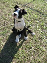 black and white pitbull boxer puppies. Plain Black A Black U0026 White Boxer Mix Breed Puppy  By The_lone_knight_73 Intended And Pitbull Puppies I