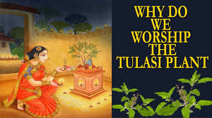 How Many Lamps To Light In Pooja Room In Kannada Tulsi Tulasi Plant Pray Worship Healthbenefits Why Do