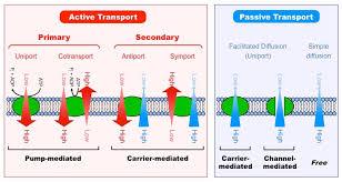 Active Vs Passive Transport Venn Diagram Types Of Transport Bioninja
