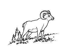 Small Picture Big Horn Sheep Sheep Horn and Printmaking
