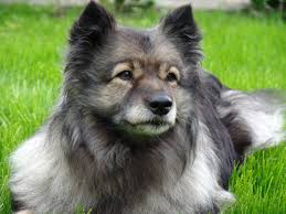 keeshond a keeshond is a unique kid friendly dog breed