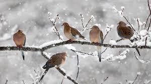 Zima, Śnieg, Gałęzie, Drzewo, Ptaki, Gołębie