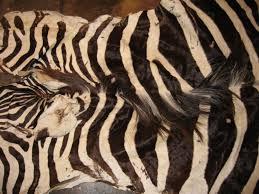 real zebra skin rug luxury