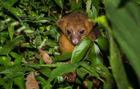 live jungle animals. Brilliant Live Adorable Kinkajous Can Be Found In The Trees Of Southern Belize With Live Jungle Animals A