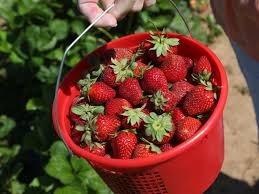 Joe's Farm offers full-time strawberry picking; farmers expecting bumper  berry crops for you-pick-it seasons | Lifestyles | tulsaworld.com