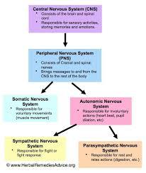 Cns Pns Chart Peripheral Nervous System Flowchart Www Bedowntowndaytona Com