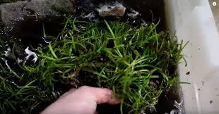 Best Low Light Carpet Plant 3 Tips On How To Grow Aquarium Carpeting Plants Better Huntii