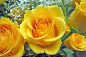 rose flower meanings 4