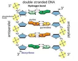 Are Hydrogen Bonds Between Dna Bases Inter Or Intra