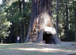 drive thru redwood tree world famous chandelier tree forest leggett
