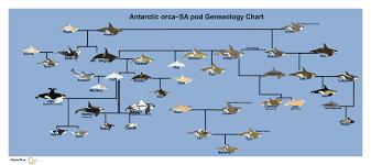 tilikum offspring chart. Interesting Tilikum Antarctic Orca SA Pod Genealogy Chart By MaaliksWorld  With Tilikum Offspring Chart T