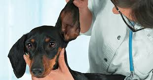 How To Cure A Dog Yeast Infection -- And How To Prevent Them - Care.com
