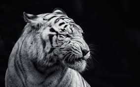 tiger photo black and white wallpaper