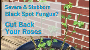 Rose Bush vs Severe Black Spot Fungus - YouTube