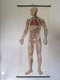 Whole Body Chart Details About Vintage Roll Pull Down Medical School Chart Circulation Body Full Body Anatomy