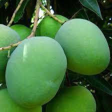 Resultado de imagen para mango africano
