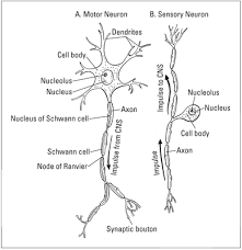 Whats The Basic Structure Of Nerves Dummies