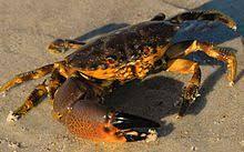 Florida Stone Crab Wikipedia