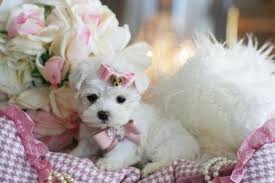 if you like one of our teacup yorkies or other breeds please call us today shipping to texas is very safe