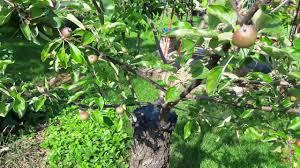 green apple fruit tree. bark graft - grafting fruit tree in the spring!!! 3 fruits one three(pear, red apple,green apple) 2. green apple