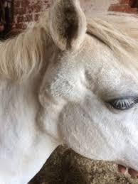 Melanomas In Horses Overview Stretton Hills Veterinary