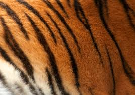 Tiger Pattern Enchanting Tiger Pattern Darren Hunt Flickr