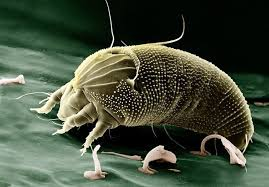 5 tips for the elimination of mites