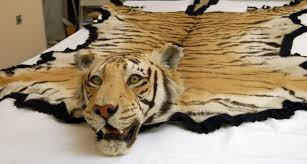 real tiger skin rug with head for