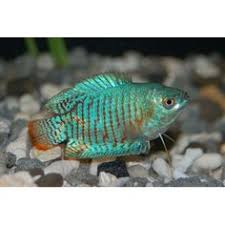 petco freshwater fish. Exellent Petco Dwarf Gourami Freshwater Petco 519 Community 10 Gallons Up To 2 To Petco Freshwater Fish T