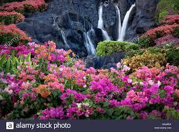 bougainvillea flowers and waterfall at garden in kauai hawaii
