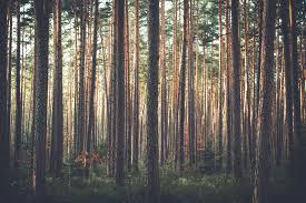 Free download Pine Tree Wallpaper ...