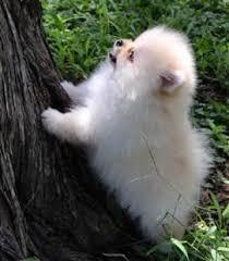 Pomeranian Puppy Feeding Chart Pomeranian Puppy Care Petpom