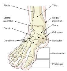 ankle foot bones diagram    ladiesmagz comright foot bone structure