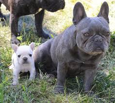 french bulldog full grown size. The Only Pocket Frenchie Breeder In World Inside French Bulldog Full Grown Size