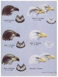 Bald Eagle Age Chart Bald Eagle Fascination Clemens Vanderwerf Photography