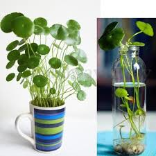 <b>50x</b>-Hydrocotyle-vulgaris-Pilea-Seeds-<b>Green</b>-Water-Soil-Plant-High ...