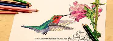 Small Picture Hummingbird Coloring Pages Hummingbird Pictures