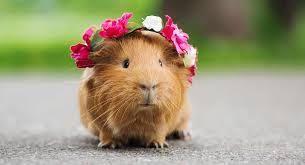how much are guinea pigs what to