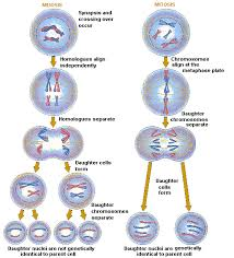 Mitosis And Meiosis Comparison Chart Cracking Groups Meiosis Mitosis Comparison Chart