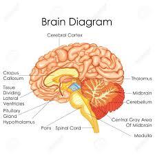 Brain Chart Medical Education Chart Of Biology For Human Brain Diagram Vector