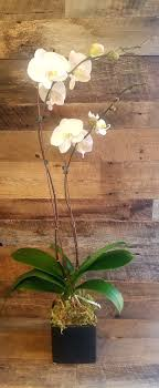 white double stemmed orchid