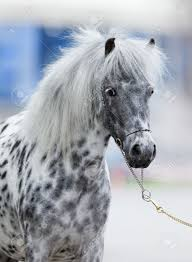 Image result for appaloosa horses