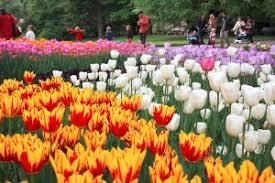 signification de la tulipe dans le langage des fleurs