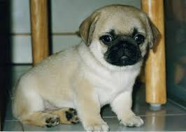 really cute pug puppies. Exellent Pug Fawn Cute Pug Puppy On Really Puppies S