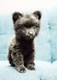 black pomeranian teddy bear cut. Interesting Bear Pomeranian Puppy With Black Teddy Bear Cut E
