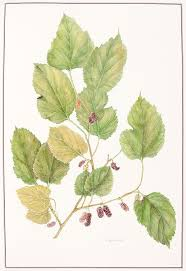 HUNT, Alysia (Artist). ANDREWS… The Queen's Mulberries. – Sotherans