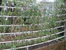 florida vegetable gardening. Wilted Tomato Plants Florida Vegetable Gardening V