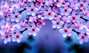 Bunga Sakura 10 Gambar Wallpaper Bunga Sakura Gambar Top 10